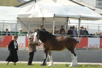 A Clydesdale mare is inspected in front of the only covered stand of the new arena.