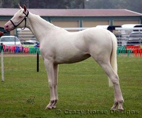 Champion White Horse Mare was Miva Tiger Lilly owned by Miva Stud