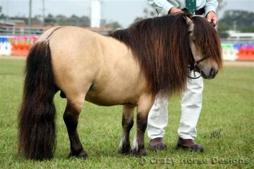 Stefan??? The lovely presented Dun Shetland Pony stallion Dreamridge The Bandit shows off his locks and dorsal stripe while competing in the dun factor class