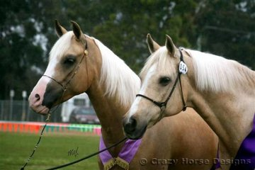 Yvette Vlies' two lovely palomino arabian geldings Kejal Gold Lotto & her old boy Pallano Intrepid- 19 yrs old. They went Champ & Reserve Champ Senior Pally Geldings