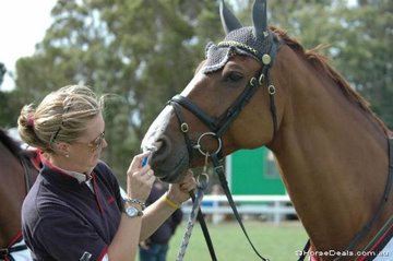 """Groom extraordinaire, 'Chucky' Englesman thinks it wise to """"shave down"""" George Sanna's mount, 'Paratus' for the 1.35, Saddleworld Speed class. """"If it works for the cycling, why not horses?"""