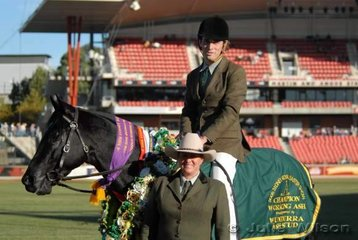 'Phillip Porter from Victoria rode his well-performedTalisman Fiddler' by Star Black Minstrel, to win the Working Stallion class and be declared Champion Working ASH and take out the David Archibald Trophy.