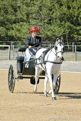 Sue Tighe driving 'Tyalla Mr Mischief' in the Novice Large Pony Dressage.