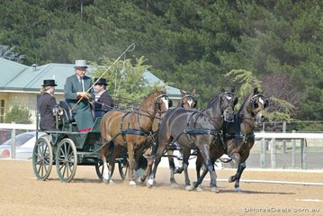 Lance Thomas driving 'Marri Vale Gwen', 'Marri Vale Madoc', 'Marri Vale Brenin' & 'Myanarra Carousel' in the Open Pony Team Dressage.