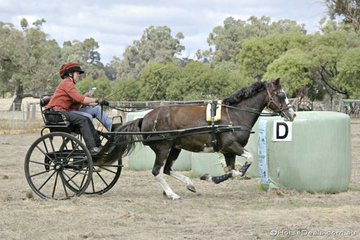 Judy Pope driving 'Narcoola Parc Baldwena' heads for the finish flags in the 'Feed Store' obstacle.