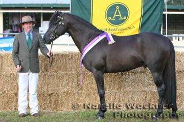 Champion Led Stallion 'Rocksbury Explorer' exhibited by Alan Willett