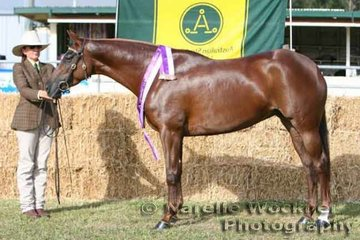 Champion Led Mare 'Clovelly Roseanna' exhibited by Marilyn McCulloch