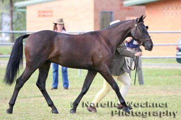 Reserve Champion Led Colt 'Southern Cross Show Time' exhibited by Fran & Malcolm Adams from Southern Cross Stud