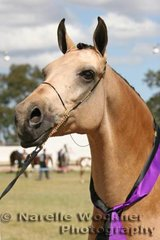 Champion Partbred Arabian Exhibit 'Daintree Gold Spark' exhibited by Rudi & Tracy Moeller