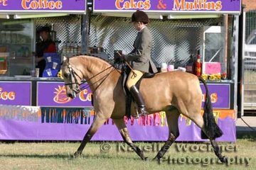 Champion Derivative Arabian Over 14hh & ne 15hh Under Saddle 'Daintree Gold Spark' ridden by Phillipa Tyas & owned by Tracy & Rudi Moeller