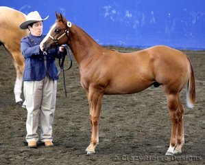 Reserve Grand Open & Grand Amateur Owner Weanling Colt was Velocite shown & owned by Karen Daley