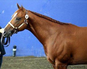 Reserve Grand Amateur Owner Colt was Statement, owned by Marea Frazer