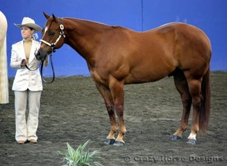 State Champions in both Amateur & Open 4yr old & over geldings was Traditional Step owned & shown by Michelle Summerhill.