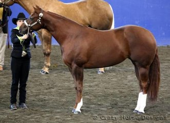 Reserve State Champions in 2 yr old mares was GSQ How D Miss Mytee shown by Brooke Chapman