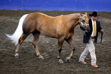 Dennis Ferry leads out his mare Evocative to a reserve champion in Amateur Owner 2 yr old mares