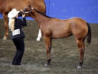 State Champion in both Open & Amateur Weanling Filly & Reserve Grand Amateur Mare was JVQ Devotion shown here by Kylie Hardwick