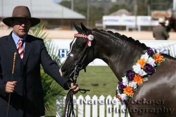 Champion Open Led Large Show Pony Hack over 12.2h & ne 14h 'Morningside Penny Affair' exhibited by Rondandella Stable