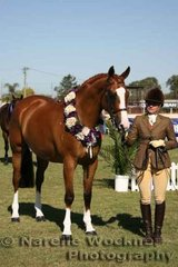 'Rimini Park Kristakaros' exhibited by Megan Hitch & Hayley Scott was Champion Open Led Show Hunter over 16h