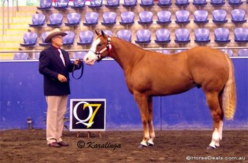 Jandellar Sheer Class was Reserve Champion in the 2 Year Old Amateur Colt class, shown by his owner Ralf O'Dell.