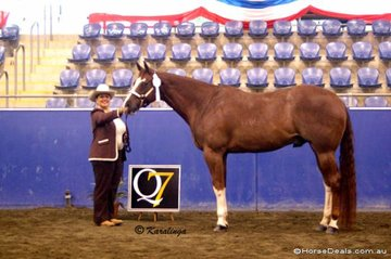 Karen Mossman's  Just Noble was a placegetter in the American Registered Gelding 4 Years Over class.