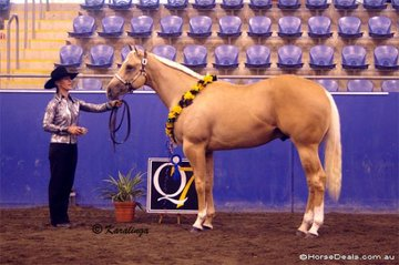 Michelle Summerhill's palomino colt A Page In Time won the Amateur Yearling Colt class, & the Reserve Grand Champion Amateur Colt or Stallion award