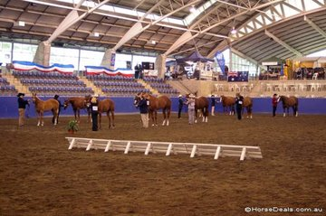 The Line-up for Grand Champion and Reserve Grand Champion Amateur Mare or Filly.