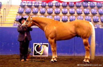 The Stallion Over 4 Years class was won by Coolest Mystery, owned by V Barnes & G Gregory, & shown by Tim French.