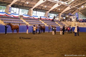 Youth Judging competitors, judge the Halter section of their competition