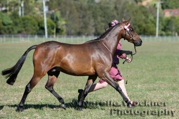 'E.L. Valentino' exhibited by Ashley Harris and shown by Melody Harris placed 2nd in Led Large Pony 12.2hh n/e 14hh