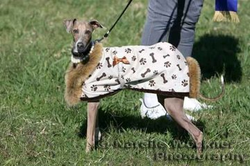 Looking very glamorous for the occasion with his specially designed fur coat and pearls , Melody O'Brien's Italian greyhound Jack watching the goings on