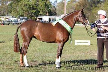 Reserve Led Newcomer Large Pony ' Samson Serenade' exhibited by Katelyn Burgess