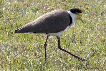With the fine displays of dressage prevailing, even the resident Spurwing Plover felt inspired to practice lengthening of stride.