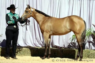 The cute buckskin filly Days Of Hope was shown in Weanling Fillies by owner Leanne Gidman
