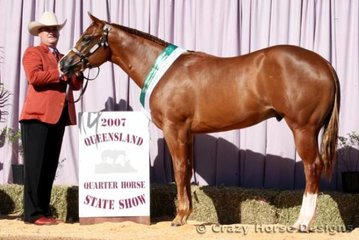 Reece Burchell showed Carolyn Reeve's colt Extortionist to a Reserve Grand Champion Title in Open, Amateur & AmQHA Colt/Stallion