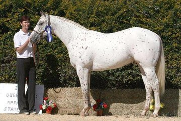 Yearling Hunter In Hand Champion, Moonglade Spot On, shown by Margaret O'Brien for K Peatey.