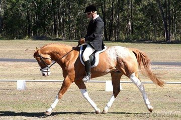 Lengthening stride across the diagonal is Cayuse Mighty Outrageous & Ben O'Sullivan in the Open Preliminary Dressage.