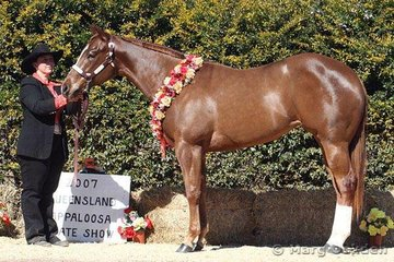 Yearling Halter Futurity champion Awedorable (A Ryan) shown by Samantha Daley.