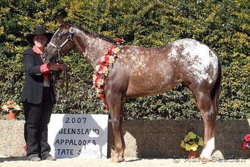Weanling Halter Futurity champion, Flawless (C Reeve) handled by Samantha Daley.