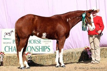 Megan Savill's Quirran-Lea Chucky Lena was the reserve champion 2003 Gelding at the 2007 Queensland Paint Horse State Championship show.