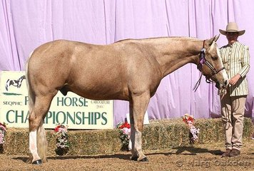 Blaze Of Thunder shown by owner Bridget Connelly was the champion 2002 & Older Gelding at the Queensland Paint Horse State Championships.