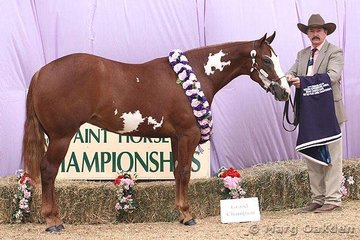 Grand Champion Mare/Filly & Supreme Exhibit of the Queensland Paint Horse State Championships was Hallmark Farm's Sweet Justice.