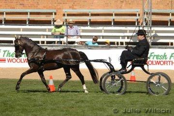 Michael Lenihan drove his chestnut stallion, 'Mariposa Tradesman' to claim the Reserve Champion Non Hackney Pony 12.2-14hh award.