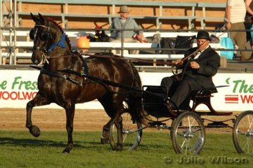 Peter and Shane Keir's magnificent 'Canberra Park Silhouette', driven by Shane, claimed her fifth Non Hackney Light Horse In Harness Championship