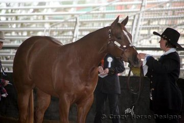 Awe Dorable stands to attention during judging of the 2 Year Old Halter Futurity, she is shown by Samantha Daley