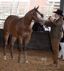 Riverdowns Concent T Class was born a solid bay, he has now coloured out as appaloosas can do, growing a blaze, spotting & even a roan front sock!He is shown here with owner Debera Ebbett in the 2 year old Halter Futurity class