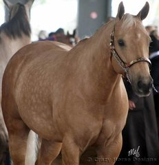 El Eban Lite Pickens owned by B Manz competes in the Best Presented Palomino class