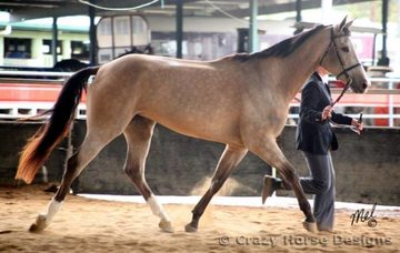 EPL Censational & Ellie Watts trot out during the 4 & Over Halter Futurity