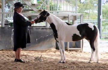 Two Moons Voodoo Doll competes in the Champoin Filly class in the Under 14hh Pinto ring