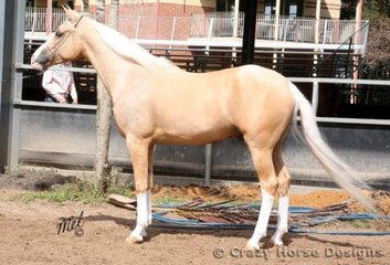 Kejal Gold Lotto competes in the Best Coat Colour in the Palomino ring, he is owned by Yvette Vlies