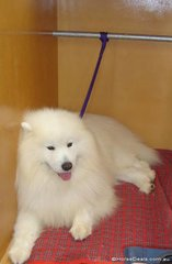 Shaun the Samoyed - biding time waiting for his time in the arena.  It's hard enough keeping a grey horse clean, imagine preparing Shaun!